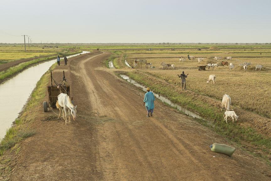 Livestock graze in the Ngalenka Perimeter, an irrigated perimeter in northern Senegal.